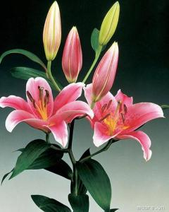 hoa ly ly